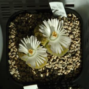 開花が始まった白花黄紫勲分頭親株とトップレッド