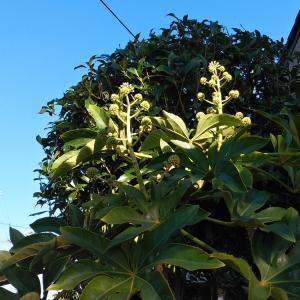 開花が始まったヤツデとヒイラギ