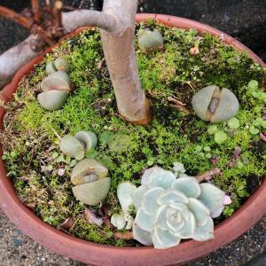 新芽が出ていた百日紅と同居の帝玉と水仙の鉢にムスカリ??