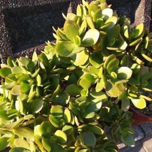 花芽が上がって来ない花月大株と非常ライトの交換