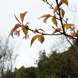 開花が始まったヒマラヤザクラと真っ赤に色づいた万両