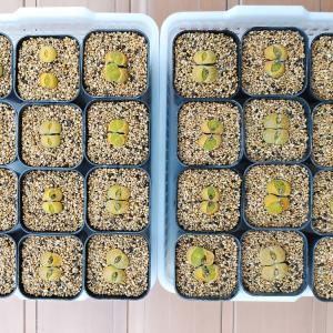 植え付けた白花黄紫勲と次々に新芽が出てきた芍薬