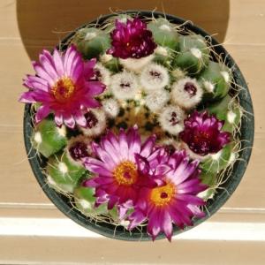開花が始まった菫丸とリトープスの植え替え
