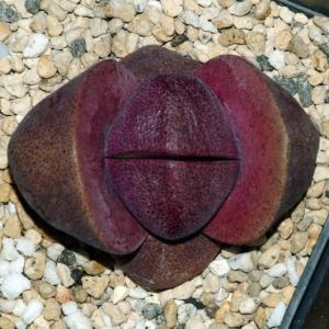 3対苗の紫帝玉