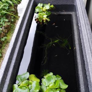 新しい水槽に移したヒメダカ15匹とエサ