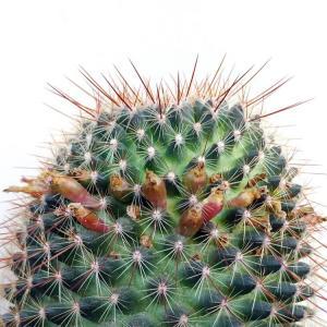 次々と鞘が飛び出して来た銀紗丸と咲き続ける八重咲きマツバボタン