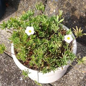 予想通りに開花が始まった、パルマーピンクと孵化していた第4世代のメダカ!