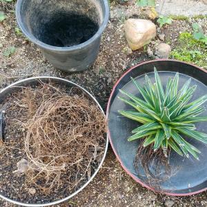 笹の雪黄覆輪の植え替えと7輪同時開花のパルマーピンク