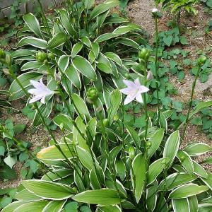 開花が始まったギボウシと台風対策