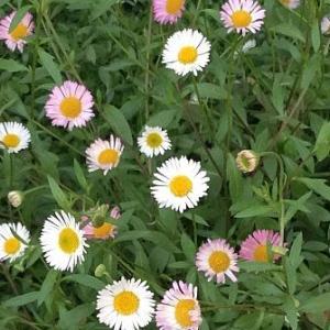 エロゲー、エヴァンゲリオン、デカメロンと連想させてくれる、奇天烈な花の名だった - エリゲロン(源平小菊)