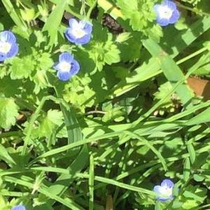 人が邪魔だと思うかどうかで、雑草と野草に違いが生まれてしまいますが、何気に人の目を引き付ける植物はいいものだと思う - 水引・半夏生(近所の野草)