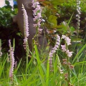 ほかの野生ランは希少種の扱いになるんだけど、こちらはごく普通で花がネジを巻いて咲く姿は、ピンクのらせん階段といった風情だな - ネジバナ(ガーデニング)