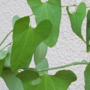 ジャコウアゲアハ(麝香鳳蝶)の食草、ウマノスズクサ(馬鈴草)は毒草で他の虫は見向きをしないのですが、どうして食べるようになったのか不思議だな - ウマノスズクサ(馬鈴草)