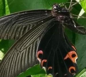 """生き物が他の動植物や周囲の生物以外のものに似せた色彩、形、姿勢をもつのが擬態ですが、目立たせるための""""標識的擬態""""なら、この蝶なのでしょう - クロアゲハ(飯島市民の森)"""