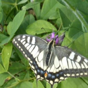 ポルノグラフィティのアゲハ蝶は、フォルクローレ調のリズムも軽やかですが、本物の蝶も空を自在に舞飛ぶ姿が軽快だ ー ナミアゲハ・キアゲハ(ガーデニング)