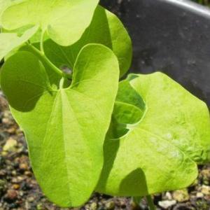 花期は九月までとあるので、今からでもいいからすくすく育って、咲いてくれないものかな ー ウマノスズクサ(ガーデニング)