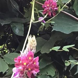 今年は以上にくそ熱い夏でしたが、九月になって秋の季節を感じつつ、マメ科の植物に着目してみた - クズの種子(マメ科ジャケツイバラ属)