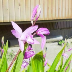 花壇など露地植えにすれば、間違いなく咲いてくれるという植物が分かって来て、何でも鉢植えにできるのではないと気が付いた ー 紫蘭の植え替え(ガーデニング)
