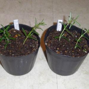 """この植物の名を聞くと、サスペンスホラー映画の""""ローズマリーの赤ちゃん""""をつい思い出してしまう、園芸おじさんなのである - ローズマリー挿し芽(ガーデニング)"""
