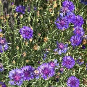 ほったらかしで咲き続ける多年草は、手間いらずで扱いやすいが、勝手に繁殖されると邪魔者にしか見えなくなる ー ヤグルマギク(ガーデニング)