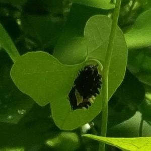 捕まえて下腹部の匂いを嗅ぐと、この蝶の命名の由来になったじゃ香の香りがするらしいのだが ー ジャコウアゲハ幼虫(ガーデニング)