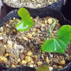 この植物を育てようとする御仁は、万年青(オモト)以上に、園芸の好事家には違いないと思う - ウマノスズクサ(ガーデニング)