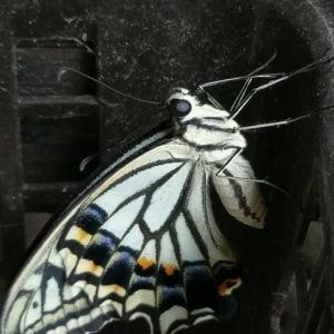 マンション三階のベランダだから、ハエやハチの変な寄生虫も飛んでこなかったのが幸運だったのだろうか ー ナミアゲハ羽化(ガーデニング)
