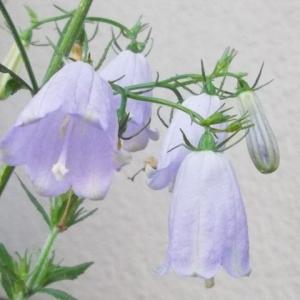 キレイに咲いたから、来年もまた咲くように、お手入れは欠かせないと買ったココピート用土 ー ツリガネニンジン・水で増える園芸土(ガーデニング)