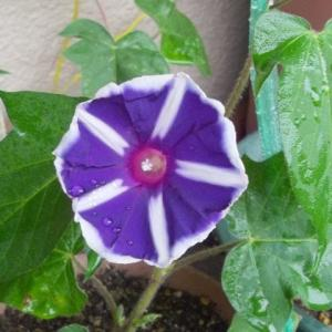 早起きして萎んでしまう前に花を見て愛でるのが、出勤するまでの夏の日課になるんだな - アサガオ(ガーデニング)