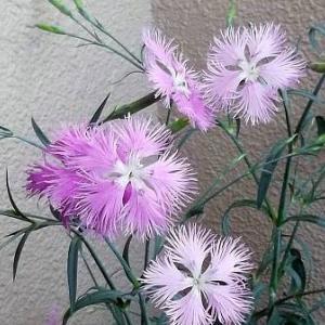 サロマ湖ワッカ原生花園でみたエゾカワラナデシコもきれいだったけれど、自分で育てた方が、もっと健気で美しいと自画自賛 - 河原撫子(カワラナデシコ)(自宅・横浜市)