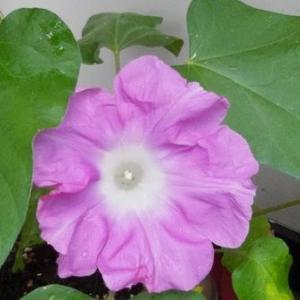 """百数十年前、英国から来日して江戸を訪れた植物学者が、""""世界一の園芸都市""""と息をのんだほどに賞賛したのも、日本人が園芸好きだったからだよ - 朝顔初開花(横浜市・そのほか)"""