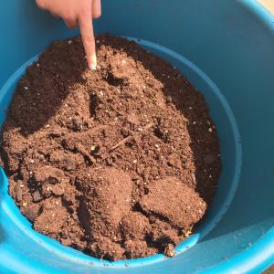 [息子7歳3ヶ月]ひまわりの種を植えたのに☆土曜日の補習校は国語の時間