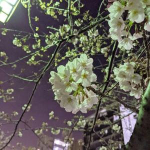 大岡川の桜 2020