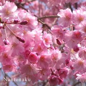★人の来ない ( *´ ︶ `* ) 近所の桜を眺めて癒やされよう。