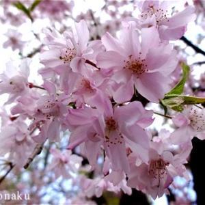 ★婦人科の帰りに見た美しい枝垂桜で心が癒やされました。