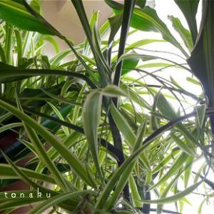 ★今年は何故か私の部屋がジャングルっぽくなっていて困ってます。(  ・ω・` ;)