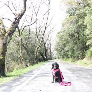 三好池の桜咲き始め