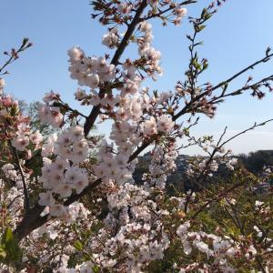 〔久本・末長 花まつりスタンプラリー2020〕で地元を桜散歩