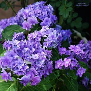アジサイ 筑紫の風