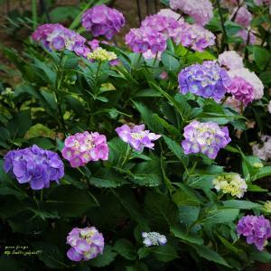 てまり咲きのアジサイ