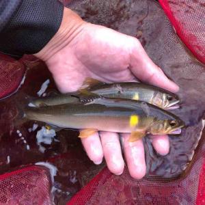 7月下旬 近場の川で友釣りをしました♪