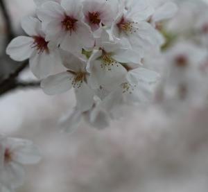 桜のような君が好き