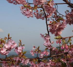 河津桜の舞う頃