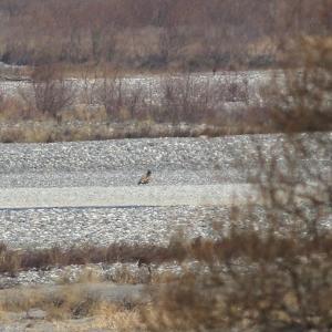静岡県でオジロワシ 幼鳥