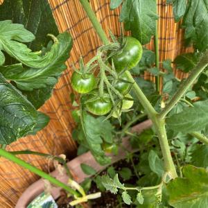 胡瓜の育て方とミックスジュース