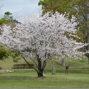 桜散歩♪ 2021 🌸 前編。