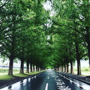 新日本街路樹百景・メタセコイア並木