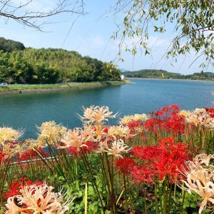 水面に映えるヒガンバナと水色のスイレン♪                  三豊市「宝山湖公園」