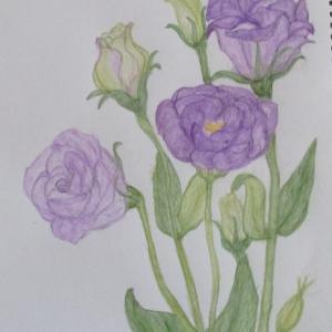紫のトルコ桔梗