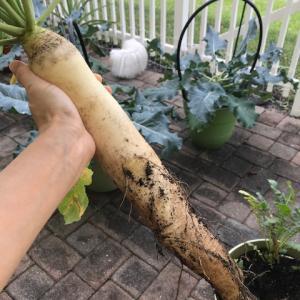 プランター栽培~大根の収穫